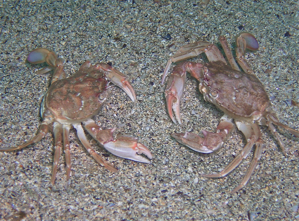 Harbour crabs sizing up