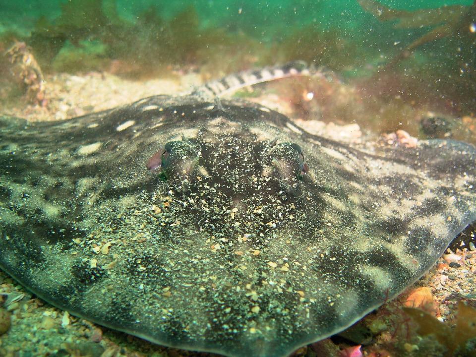 Thornback ray