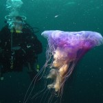 Diver and Lion's mane jelly