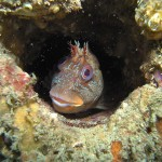 Tompot Blenny in boiler