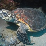 Turtle, Red Sea