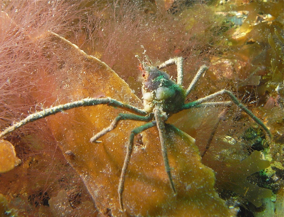Leach's spider crab