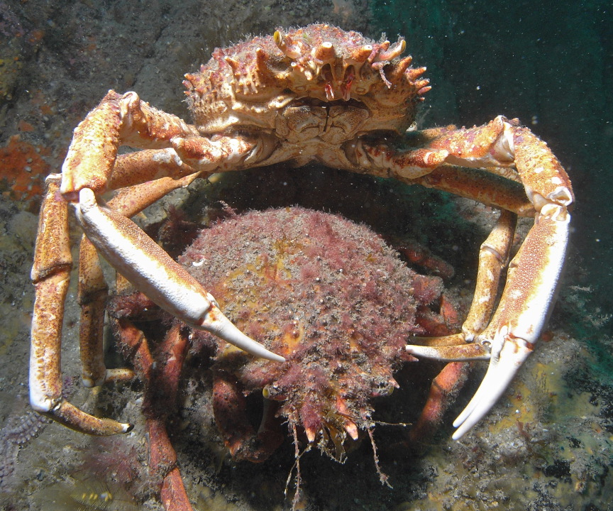 Spider crabs getting it on