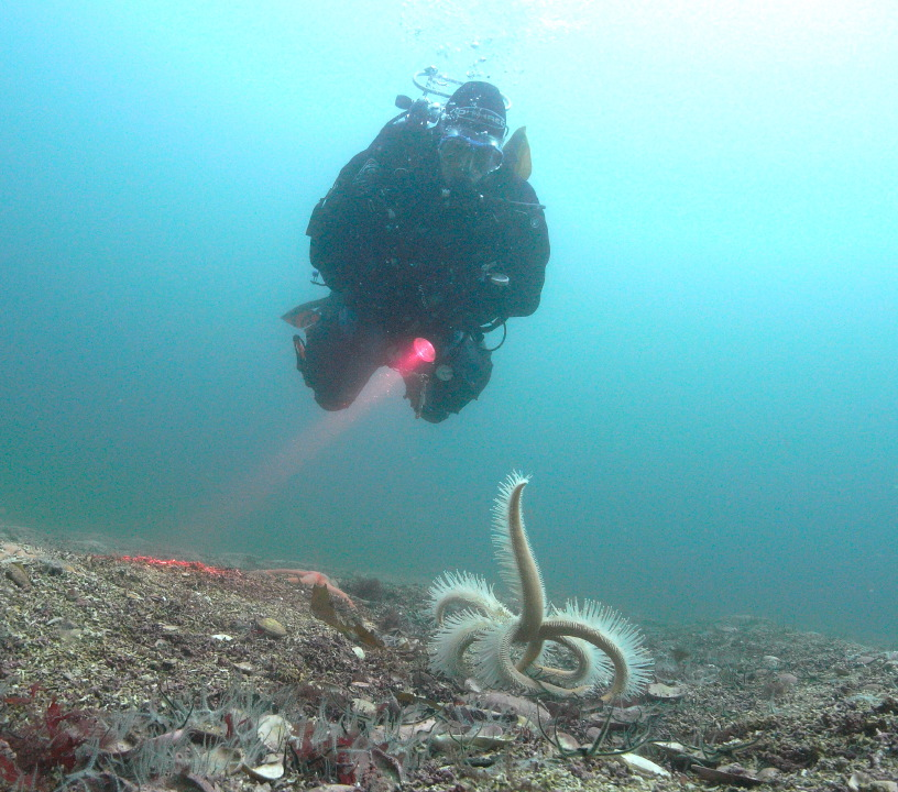Diver and starfish